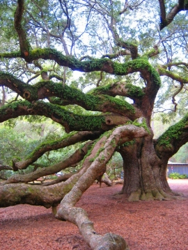 best-picture-gallery-nature-tree-angel-oak1-rasears-mod-pic